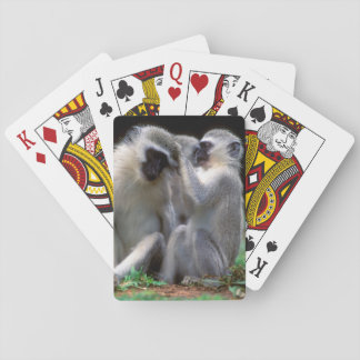 Vervet Monkey's (Cercopithecus Aethiops) Playing Cards