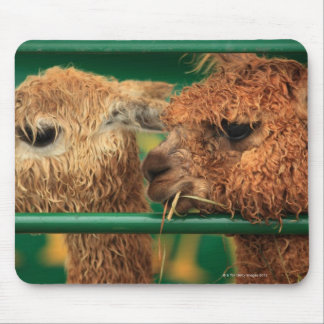 very cute lamas both looking at something off mouse mat