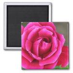 Vibrant Fuschia Pink Rose Blossom Makro Fridge Magnets