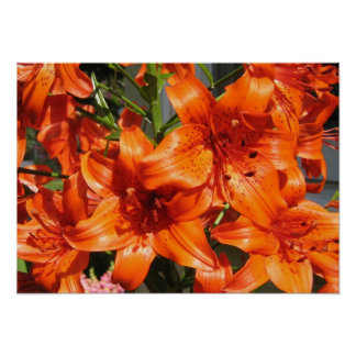 Vibrant Orange Tiger Lilies Poster