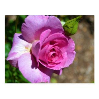 Vibrant Pink Rose Postcard