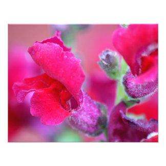 Vibrant Pink Snapdragons Photo