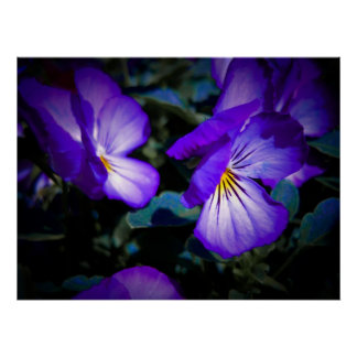 Vibrant Purple Pansies Poster