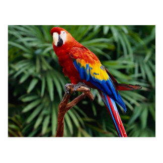 Vibrant Scarlet Macaw Postcard