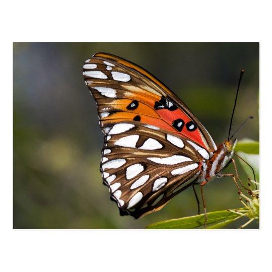 Viceroy Butterfly Postcard