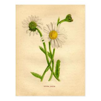 Victorian Daisy Study Postcard