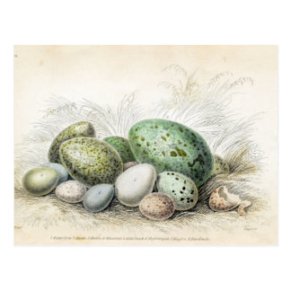 Victorian Print of Various Bird Eggs Postcard
