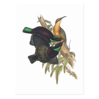 Victoria's Rifle Bird Postcard