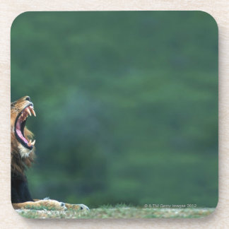 View of a Lion (Panthera leo) laying on the Coaster