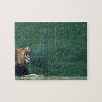 View of a Lion (Panthera leo) laying on the Jigsaw Puzzle