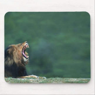 View of a Lion (Panthera leo) laying on the Mouse Mat