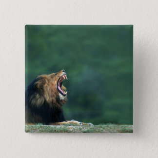 View of a Lion (Panthera leo) opening its mouth 15 Cm Square Badge