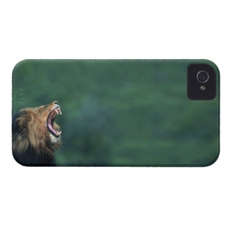 View of a Lion (Panthera leo) opening its mouth iPhone 4 Cases