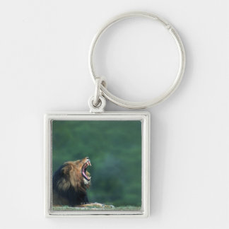 View of a Lion (Panthera leo) opening its mouth Key Ring