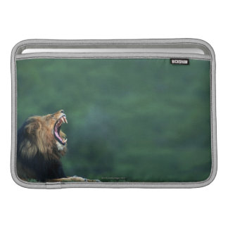 View of a Lion (Panthera leo) opening its mouth MacBook Sleeve