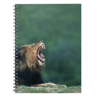 View of a Lion (Panthera leo) opening its mouth Notebook