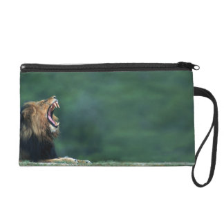 View of a Lion (Panthera leo) opening its mouth Wristlet Purse