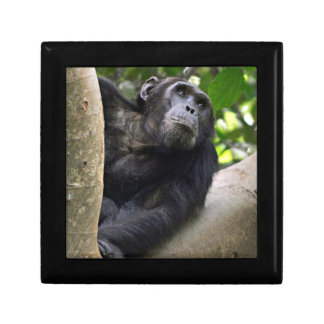 View Of Chimpanzee (Pan Troglodytes) In Tree Gift Box