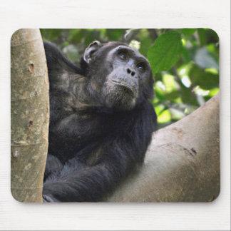 View Of Chimpanzee (Pan Troglodytes) In Tree Mouse Mat