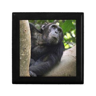 View Of Chimpanzee (Pan Troglodytes) In Tree Small Square Gift Box