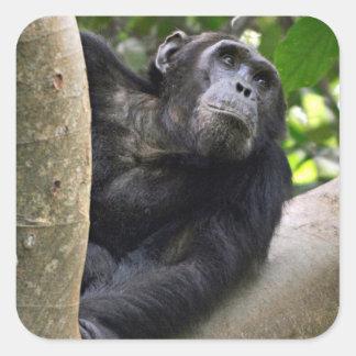 View Of Chimpanzee (Pan Troglodytes) In Tree Square Sticker