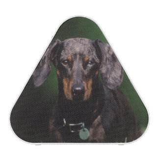 View of Dapple colored Dachshund