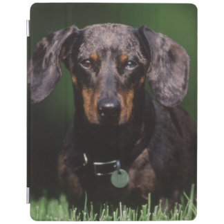 View of Dapple colored Dachshund iPad Cover