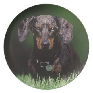View of Dapple colored Dachshund Plate
