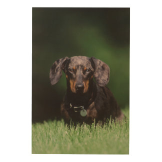 View of Dapple colored Dachshund Wood Wall Decor
