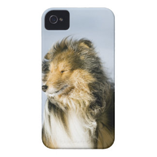 View of shetland sheepdog iPhone 4 cover