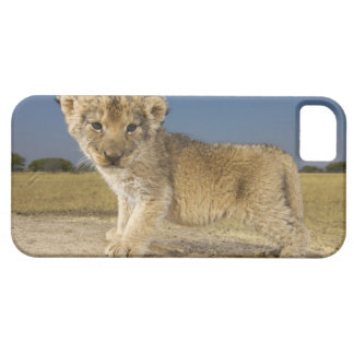 View of young lion cub (Panthera leo), looking iPhone 5 Covers