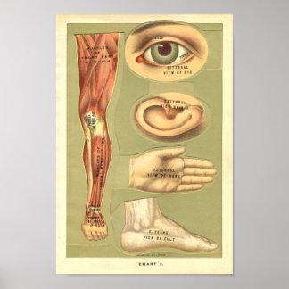 Vinatge 1901 Human Anatomy Print