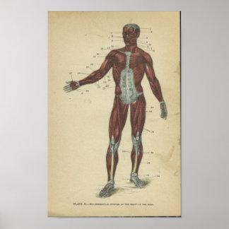 Vinatge Anatomy Print Muscles