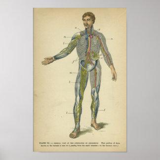 Vinatge Anatomy Print Nerves Arteries