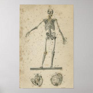 Vinatge Anatomy Print Skeleton