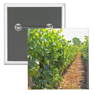 Vines trained high on wires supported by 15 cm square badge