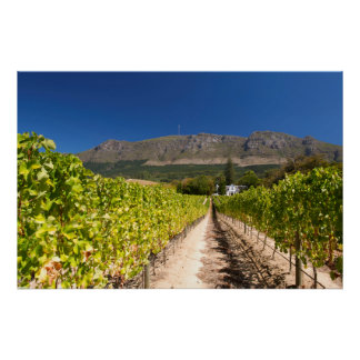 Vineyard, Cape Town, Western Cape, South Africa Poster