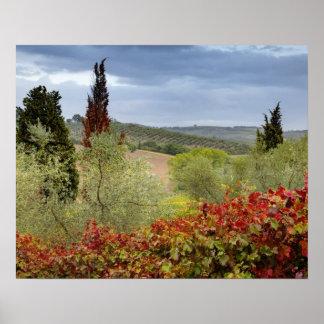 Vineyard near Montalcino Tuscany Italy Poster