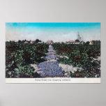 Vineyard Scene of Grapes DryingKingsburg, CA Poster