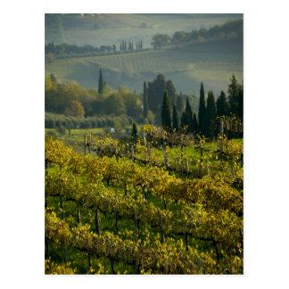 Vineyard Tuscany Italy Post Cards
