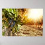 Vineyards At Sunset Poster