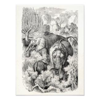 Vintage 1800s African Elephant - Elephants Art Photo