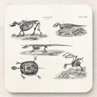 Vintage 1800s Animal Skeletons Antique Anatomy Coaster
