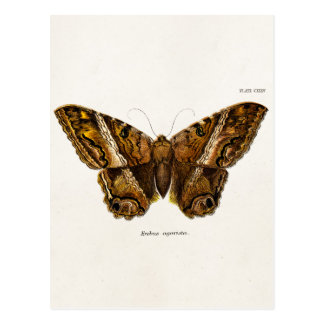 Vintage 1800s Brown Fuzzy Moth Template Butterfly Postcard