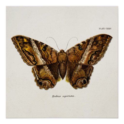 Vintage 1800s Brown Fuzzy Moth Template Butterfly Poster