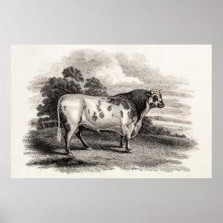 Vintage 1800s Bull Old Agricultural White Bulls Print