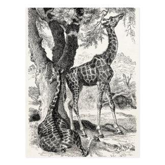 Vintage 1800s Giraffes African Giraffe Template Postcards