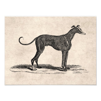 Vintage 1800s Greyhound Dog Illustration - Dogs Photo Print