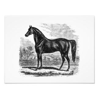 Vintage 1800s Horse - Morgan Equestrian Template Photo Print