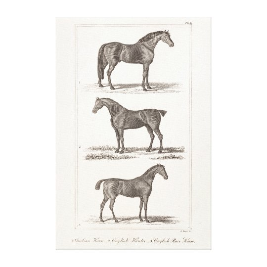 Vintage 1800s Horse Old Breeds Arabian Hunter Race Canvas Print